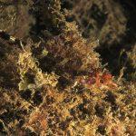 peperoncino giallo 114 150x150 Trypterigion delaisi   Pesce peperoncino giallo