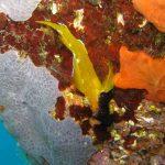 peperoncino giallo 15 150x150 Trypterigion delaisi   Pesce peperoncino giallo