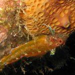 peperoncino giallo 16 150x150 Trypterigion delaisi   Pesce peperoncino giallo