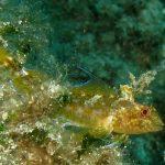 peperoncino giallo 17 150x150 Trypterigion delaisi   Pesce peperoncino giallo