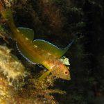 peperoncino giallo 18 150x150 Trypterigion delaisi   Pesce peperoncino giallo
