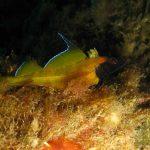 peperoncino giallo 19 150x150 Trypterigion delaisi   Pesce peperoncino giallo
