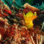 peperoncino giallo 20 150x150 Trypterigion delaisi   Pesce peperoncino giallo