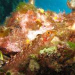 peperoncino giallo 28 150x150 Trypterigion delaisi   Pesce peperoncino giallo