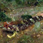 peperoncino giallo 32 150x150 Trypterigion delaisi   Pesce peperoncino giallo