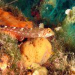 peperoncino giallo 41 150x150 Trypterigion delaisi   Pesce peperoncino giallo