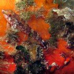 peperoncino giallo 43 150x150 Trypterigion delaisi   Pesce peperoncino giallo