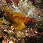 peperoncino giallo 46 150x150 Trypterigion delaisi   Pesce peperoncino giallo