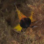 peperoncino giallo 47 150x150 Trypterigion delaisi   Pesce peperoncino giallo