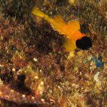 peperoncino giallo 67 150x150 Trypterigion delaisi   Pesce peperoncino giallo