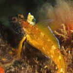 peperoncino giallo 77 150x150 Trypterigion delaisi   Pesce peperoncino giallo