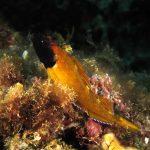 peperoncino giallo 78 150x150 Trypterigion delaisi   Pesce peperoncino giallo