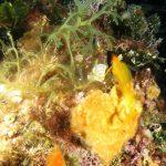 peperoncino giallo 81 150x150 Trypterigion delaisi   Pesce peperoncino giallo