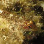 peperoncino giallo 87 150x150 Trypterigion delaisi   Pesce peperoncino giallo