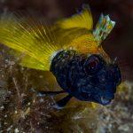 peperoncino giallo 88 150x150 Trypterigion delaisi   Pesce peperoncino giallo