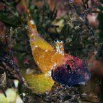 peperoncino giallo 90 150x150 Trypterigion delaisi   Pesce peperoncino giallo