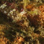 peperoncino giallo 93 150x150 Trypterigion delaisi   Pesce peperoncino giallo