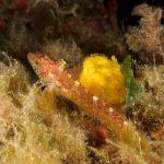 peperoncino giallo 97 150x150 Trypterigion delaisi   Pesce peperoncino giallo