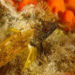 peperoncino giallo 99 150x150 Trypterigion delaisi   Pesce peperoncino giallo
