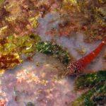 peperoncino minore 20 150x150 Pesce peperoncino minore