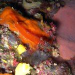 peperoncino minore 21 150x150 Pesce peperoncino minore