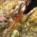 peperoncino minore 34 150x150 Pesce peperoncino minore
