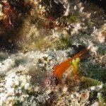 peperoncino minore 38 150x150 Pesce peperoncino minore