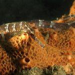 pesce ago musolungo 43 150x150 Pesce ago musolungo