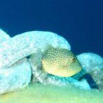 pesce balestra 10 150x150 Pesce balestra