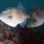 pesce balestra 11 150x150 Pesce balestra