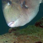 pesce balestra 13 150x150 Pesce balestra