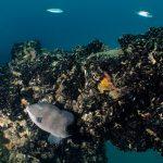 pesce balestra 16 150x150 Pesce balestra