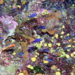 pesce castagnola 01 150x150 Pesce castagnola