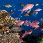 pesce castagnola 03 150x150 Pesce castagnola