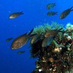 pesce castagnola 06 150x150 Pesce castagnola
