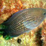 pesce castagnola 08 150x150 Pesce castagnola