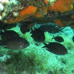 pesce castagnola 13 150x150 Pesce castagnola