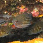 pesce castagnola 14 150x150 Pesce castagnola