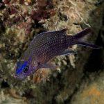 pesce castagnola 18 150x150 Pesce castagnola