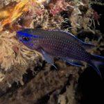 pesce castagnola 19 150x150 Pesce castagnola