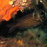 pesce castagnola 20 150x150 Pesce castagnola