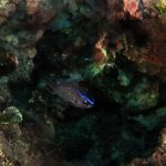 pesce castagnola 25 150x150 Pesce castagnola