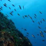 pesce castagnola 26 150x150 Pesce castagnola