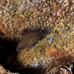 pesce castagnola 29 150x150 Pesce castagnola