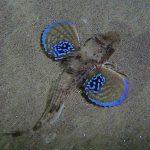 pesce gallinella 01 150x150 Pesce gallinella
