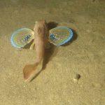 pesce gallinella 06 150x150 Pesce gallinella