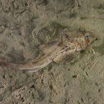 pesce gallinella 07 150x150 Pesce gallinella