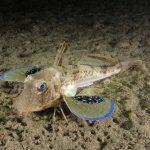 pesce gallinella 08 150x150 Pesce gallinella