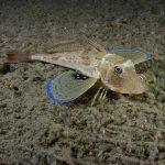 pesce gallinella 09 150x150 Pesce gallinella