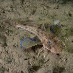 pesce gallinella 11 150x150 Pesce gallinella